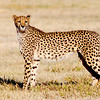 Cheetah (Female), Namibia, 2010