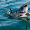 Bottleneck Dolphins, Walvis Bay, Namibia.