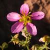 Za 1755 Fagonia capensis