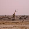 Za 3682 Gemsbokken, Zebra's , Wrattenzwijn en Giraffe
