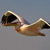 White Pelican, Walvis Bay, Namibia