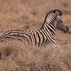 Za 3584 Zebra