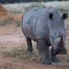 Male Adult White Rhino, Namibia, Africa