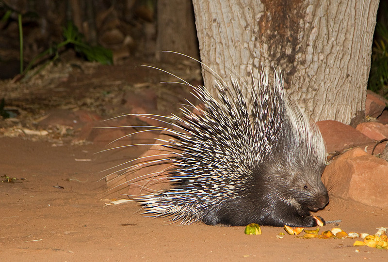 A giant Porcupine - image taken with flash in total darness in the courtyard of the lodge we stayed at in the Waterburg Mountains, Namibia - June, 2010. The staff puts our leftover fruit for them nightly.
