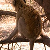 Za 3882 Groene meerkat