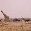 Za 3683 Gemsbok,Springbok, Zebra's, Gnoes en Giraffe