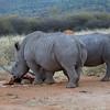 White Rhino Male and Female at Waterhole near Waterburg, Namibia.