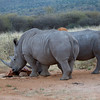 White Rhino Male and Female at Waterhole near Waterburg, Namibia.