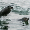 Cape Fur Seals At Play