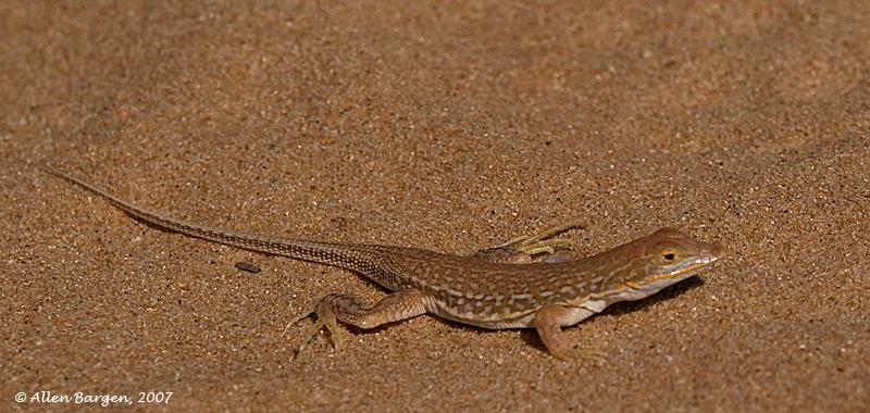 Desert Chamelion near Koichab, Namib Desert