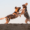 African Wild Dog Pups At Play