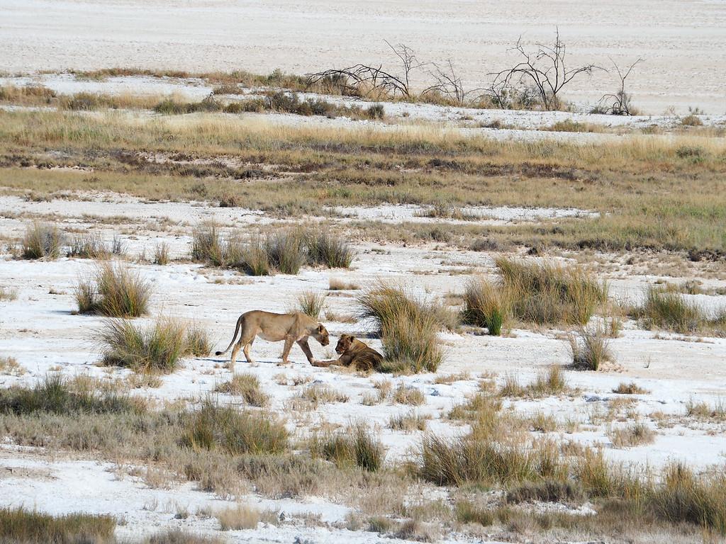 Lions at the edge of the Etosha Pan
