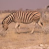 Za 3413 Zebra