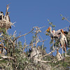 Yellowbilled Storks