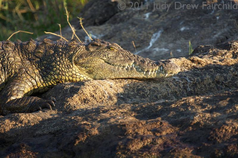 a croc suns on the rocks