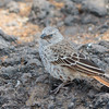 Rufous Tailed Weaver - Negorongoro NP - Tanzania-3