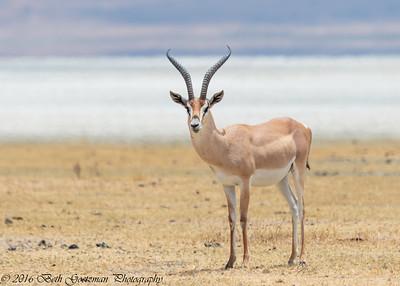 Impala - Negorongoro NP - Tanzania-3