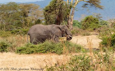 elephant - Negorongoro NP - Tanzania