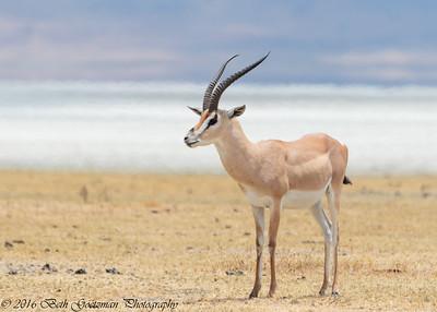 Impala - Negorongoro NP - Tanzania