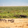 zebra landscape - Negorongoro NP - Tanzania-2