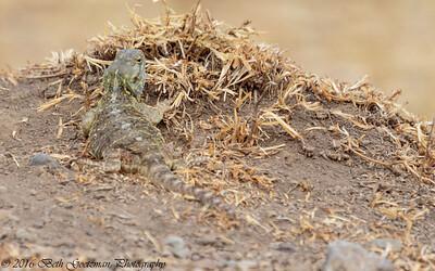lizard - unknown - Negorongoro NP - Tanzania