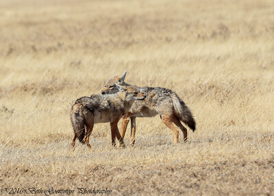 jackal pair - Negorongoro NP - Tanzania