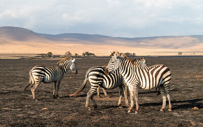 Zebra - Negorongoro NP - Tanzania-3