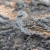 Rufous Tailed Weaver - Negorongoro NP - Tanzania-2