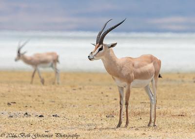 Impala - Negorongoro NP - Tanzania-2