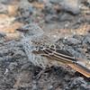Rufous Tailed Weaver - Negorongoro NP - Tanzania