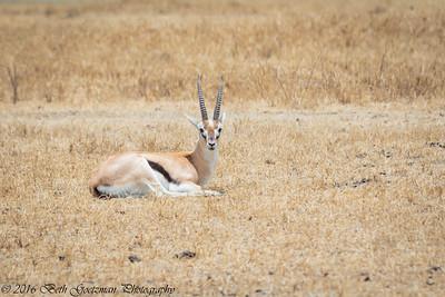 Thompson's gazell - Negorongoro NP - Tanzania