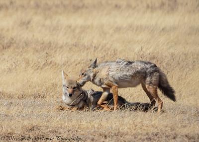 jackal pair - Negorongoro NP - Tanzania-2