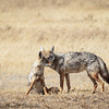 jackal pair - Negorongoro NP - Tanzania-3