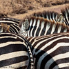 Zebra - Negorongoro NP - Tanzania-4