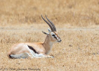 Thompson's gazell - Negorongoro NP - Tanzania-2