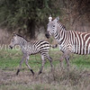 Common zebra foal
