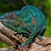 Chameleon (Chamaeleo pardalis), Cascade de Grand Galet, S. Reunion Is.