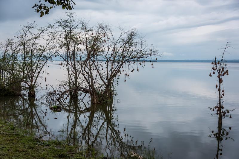 Weaver Bird Nests Over Lake Akagera