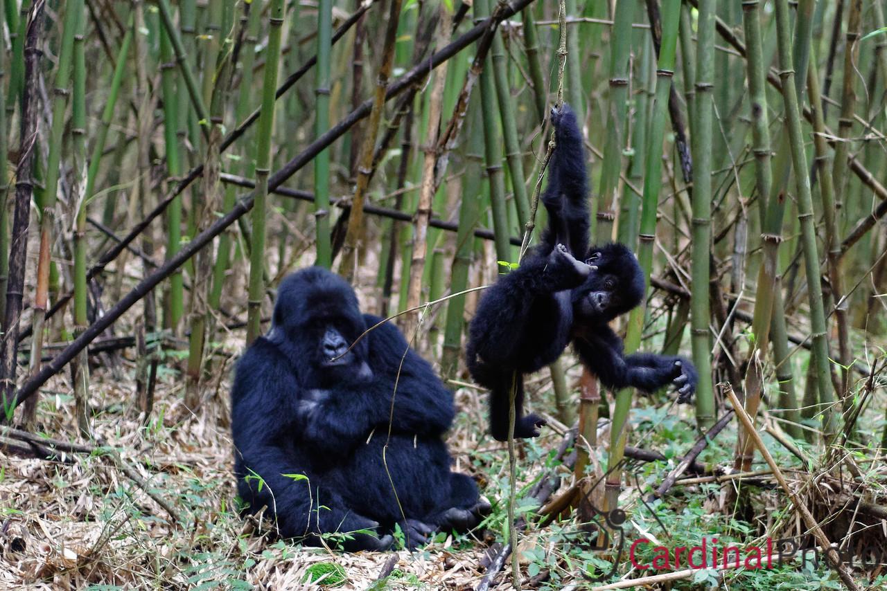 Mountain Gorillas, Rwanda