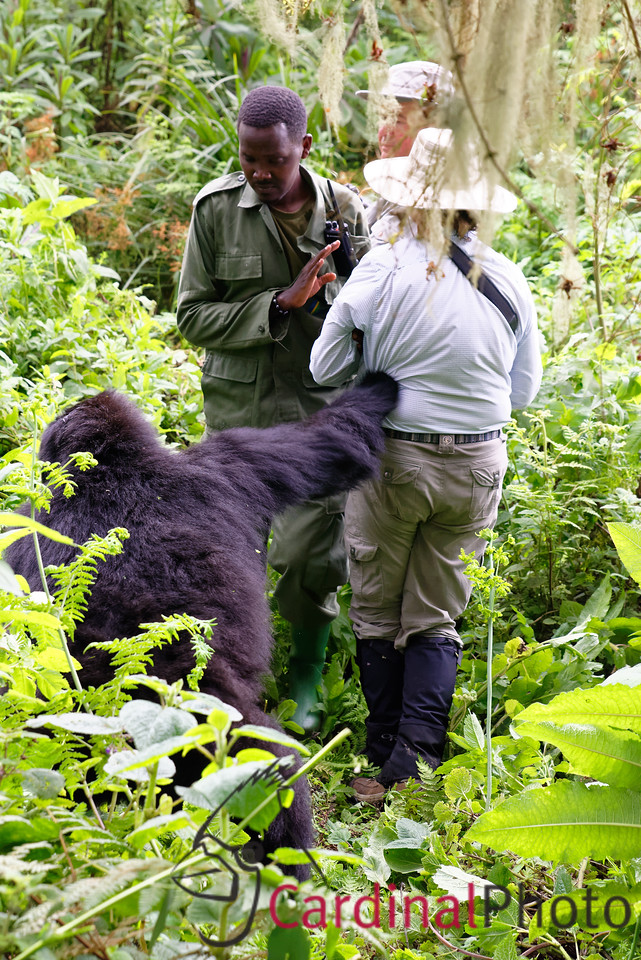 Mountain Gorillas, Volcanos National Park, Rwanda