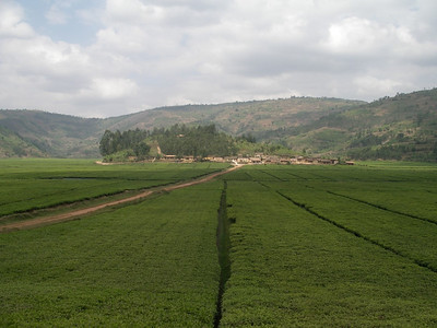tea, rwanda