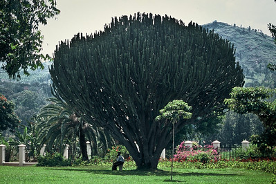 Huge cactus?