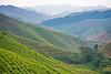 Tea plantation near Cyato in western Rwanda