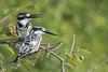 Pied kingfishers, Kazinga Channel, Uganda