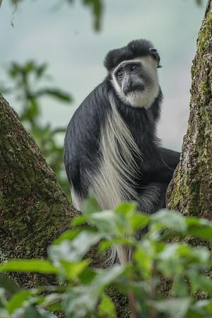 Angolan colobus monkey, Bwindi Impenetrable Forest, Uganda