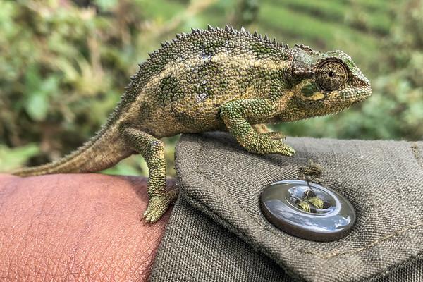 Chameleon, just outside Volcanoes National Park, Rwanda