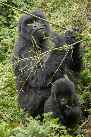 Amahoro Group, Volcanoes National Park, Rwanda