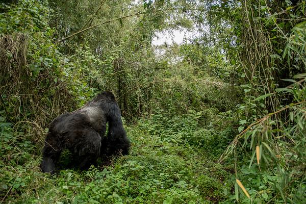 Hirwa Group, Volcanoes National Park, Rwanda