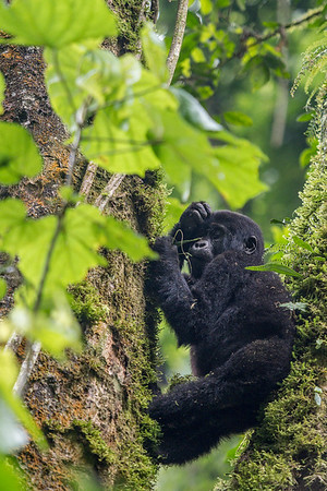 Bikyingi Group, Bwindi Impenetrable Forest, Uganda