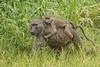 Olive baboons, Queen Elizabeth National Park, Uganda